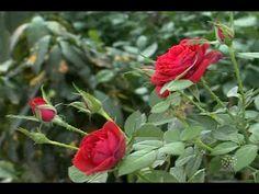 Época certa para fazer a poda de rosas