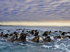 Una manada de morsas cerca de la isla de Svalbard (Paul Nicklen, 2010)