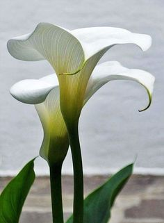 Pin by Petra Brick on Arum lilies (With images) Elegant Flowers, Exotic Flowers, White Flowers, Beautiful Flowers, Lys Calla, Calla Lily, Zantedeschia, Botanical Flowers, Exotic Plants