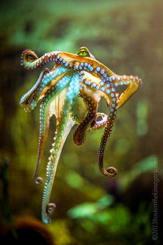 Octopus-Such beautiful, intriguing, intelligent creatures! Kraken Octopus, Le Kraken, Octopus Art, Underwater Creatures, Underwater Life, Beautiful Creatures, Animals Beautiful, Cute Animals, Pisces