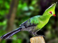 Aves - Ordem Musophagiformes - Espécie  Turaco