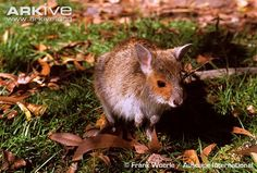 Spectacled hare-wallaby videos, photos and facts - Lagorchestes conspicillatus | ARKive