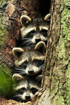 Cute Racoon Family