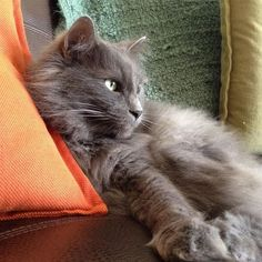 Lost Cat - Domestic Long Hair - Decatur, GA, (Pangborn Station & Pangborn Road) Male /Grey/Oliver is a fluffy, long haired cat. He is declawed in the front, he is an indoor cat and will turn 8 on APR He was last seen on at dawn. Turkish Angora Cat, Angora Cats, Grey Cats, Blue Cats, Grey Cat Breeds, Nebelung Cat, Long Haired Cats, Cat Shedding, Maine Coon Cats