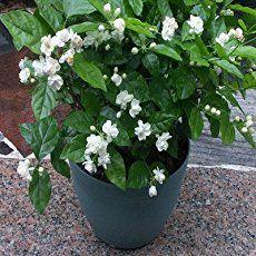 Jasmine Plant Care: Learn How To Grow Jasminum Plants Jasmine Plant: How To Grow And Care For Jasmin Outdoor Plants, Garden Plants, House Plants, Indoor Garden, Vegetable Garden, Indoor Outdoor, Tropical Garden, Tropical Plants, Gardens