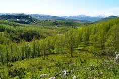 Skog og fjell mellom Misvær og Rognan     http://www.tursiden.no/skog-og-fjell-mellom-misvaer-og-rognan/