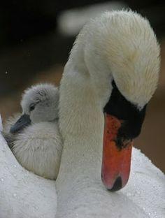 Swans - no bird more beautiful!