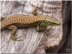 Lizards by Maria-H on Flickr.