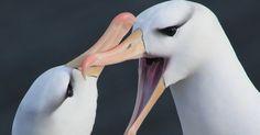A Sociedade Ecológica Britânica escolheu os vencedores de sua competição anual de fotografia. Acima, a foto de Zoe Davies, a vencedora geral, com a imagem de dois albatrozes nas ilhas Malvinas (Falklands). O prêmio de 2013 marca os cem anos da sociedade, criada para estimular a pesquisa ecológica