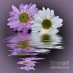 #MUMS #REFLECTING IN #LILAC by #Kaye #Menner #Photography Quality Prints and Cards at: http://kaye-menner.artistwebsites.com/featured/mums-reflecting-in-lilac-by-kaye-menner-kaye-menner.html