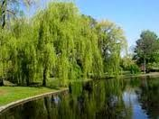 Willow tree by the pond. My place of serenity. . .