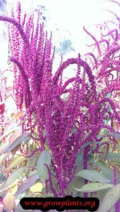 Amaranthus cruentus - How to grow & care Amaranth Plant, Vegetative Reproduction, Amaranthus, Plant Information, Water Management, Ornamental Plants, Plant Pictures, Water Lighting, Annual Plants