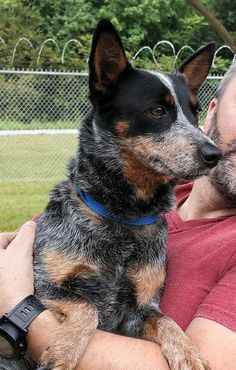 Meet Harper, a Petfinder adoptable Australian Cattle Dog (Blue Heeler) Dog | Siler City, NC | Meet Harper! Harper is the sweetest, tiniest little ACD you will ever meet! She is all Australian...