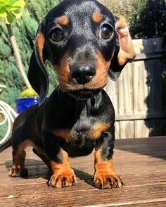 Cute Dachshund Puppy& Dachshund& dog puppies& Puppies& dog Puppies& puppy& Dog Puppies& PupsWiener Dog puppies& Dachshund puppies& Dog puppies& Dog puppies& Dog puppies& Dog puppies& The post Dog Toys : Target appeared first on Jim Norman Dogs. Cute Baby Dogs, Cute Puppies, Dogs And Puppies, Dapple Dachshund, Dachshund Puppies, Dachshund Facts, Dachshund Clothes, Chihuahua Dogs, Cute Funny Animals