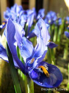 Iris nani #iris