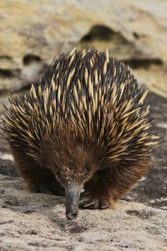 Short-beaked echidna: Not only does this outlandish mammal look extremely odd, combining a hedgehog's spines with an anteater's snout; it also has several surprising party tricks - not least of which is the ability to lay an egg. Reptiles, Mammals, Animals And Pets, Baby Animals, Cute Animals, Beautiful Creatures, Animals Beautiful, Unusual Animals, Bizarre Animals