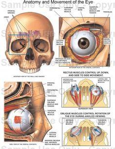 Anatomy of the eye socket eye orbit anatomy anterior2g anatomy eyeball size ccuart Image collections