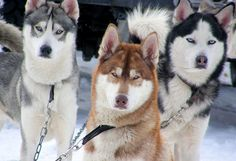 Snow Dogs at Aviemore