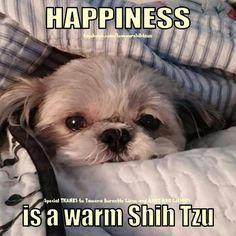 Sadie the Shih Tzu