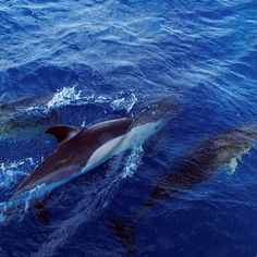 Dolphins in Fuerteventura, Canary Islands