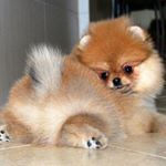 Find Out More On Bold Pomeranian Puppy And Kids - Pompon, my Boo - Puppies Fluffy Animals, Cute Baby Animals, Animals And Pets, Cute Puppies, Cute Dogs, Dogs And Puppies, Doggies, Cute Girl Dog Names, Cute Pomeranian
