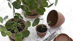 Tutut huonekasvit ovat jälleen muodissa – yhden niistä haluavat nyt kaikki - Asuminen - Ilta-Sanomat