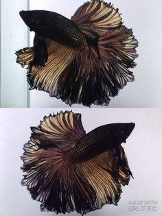 Black Copper, Halfmoon, Size M, Male