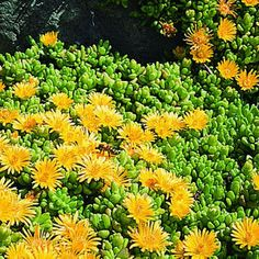 Caring for ground covers Yellow Ice plant (Delosperma nubigenum): Another medium height plant - next Succulent Landscaping, Landscaping Plants, Front Yard Landscaping, Low Maintenance Landscaping, Low Maintenance Garden, Dog Friendly Garden, Cactus, Drought Tolerant Landscape, Ice Plant