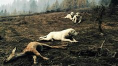 The dogs stayed for more than 13 hours protecting the dead fawn's body.