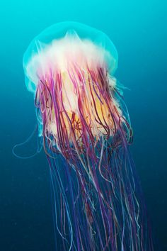 'Cyanea capillata' by Alexander Semenov  This guy is a marine biologist who does AMAZING underwater photography.  I'd love a few of these jellyfish prints.