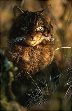 Scottish Wildcat this is a cool looking cat!
