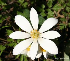 Bloodroot - Sanguinaria canadensis. A source of red dye.