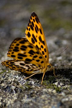 Butterfly (Timelaea albescens formosana) by ToddinNantou