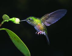 The Colourful Puffleg (hummingbird) has one of the smallest ranges of any bird in the world. This beautiful hummingbird is only found in a tiny area of the Columbian Andes and is listed as Critically Endangered due to the threat of habitat destruction.
