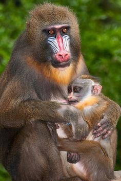 Image result for mandrill