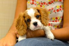 Merlot the Cavalier King Charles Spaniel at Puppy Play Group in New York City at Andrea Arden Dog Training. #puppy #puppies #puppyplay #puppyplaygroups #puppytraining #puppysocialization #socialization