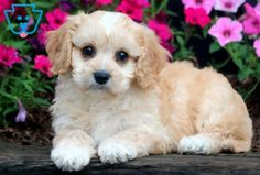 This Cavachon puppy is very social, friendly & playful! She has a nice temperament and is raised with children. This cutie will make a fabulous family Baby Puppies For Sale, Cute Puppies, Cute Dogs, Cute Babies, Fluffy Puppies, Cavachon Puppies, Cute Baby Animals, Crazy Animals, Big Eyes