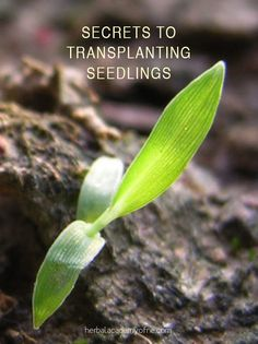Here are some secrets to successfully transplanting your seedlings.