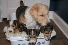 wire fox terrier litter with dad