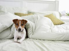 Five Nights of Dog Boarding with Treats or Five Days of Dog Daycare at A Puppy Paradise (Up to Off) I Love Dogs, Cute Dogs, Thought For Today, Parson Russell Terrier, Jack Russell Dogs, Jack Russells, Pet Furniture, Apartment Furniture, Dog Eyes