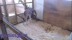1st steps... welcome to the wold little one #AprilTheGiraffe