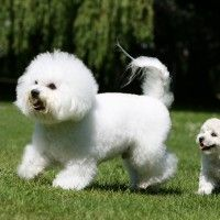 #dogalize Razas de Perros: Bichon de pelo frisado caracteristicas #dogs #cats #pets