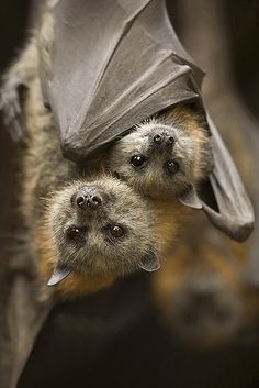 Bats are not ugly or dirty. Most bats have very cute faces, some even resemble deer, rabbits, and little Chihuahuas. Like cats, bats spend an enormous amount of time grooming their fur, keeping it soft and silky.