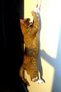 Morning Adventure: Ruby and her feather toy by happyrobot, via Flickr