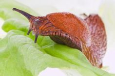 Getting Rid of Slugs in your yard and garden
