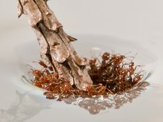 Bizarre Fire Ants Create Rafts to Survive Frequent Floods: Scientific American Ant Colony, Animal Movement, Fire Ants, Something New, Self Healing, Rafting, Science And Technology, Futuristic Technology, Fun Facts