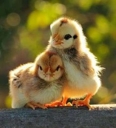 a couple of cute chicks ... nice bokeh background effect too