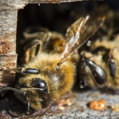 Bad news for beekeepers. The 2015-16 winter season saw losses of nearly 12 percent in 29 countries. Learn more on steamregister.com #science #bees #beekeeping #biology