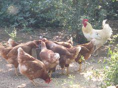 Meadow Muffin Gardens: Backyard Chicken Primer