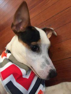Dog Bandana, Bandanas, Boston Terrier, Clever, Dogs, Baby, Animals, Boston Terriers, Animales